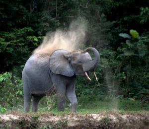 elephantadultedugabon.jpg