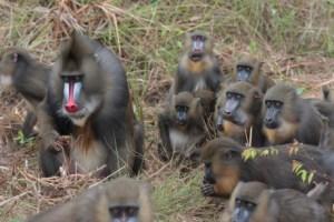 FamilledeMandrillParcNationalLope.Gabon