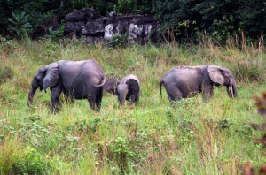elephants-Gabon