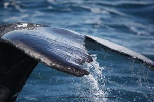 caudale-tail-whale-baleine-Gabon